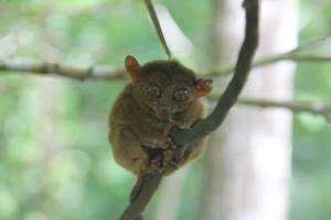 Tarsier. They used to have just a small place, with a tree where they put the tarsiers. They even let people hold them. Now they're really serious about preserving these special creatures. They have a much bigger preservation site, and they do not allow people to disturb them, except to quietly take photos.
