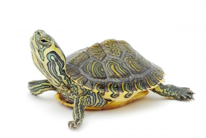215635-672x450-Little-turtle