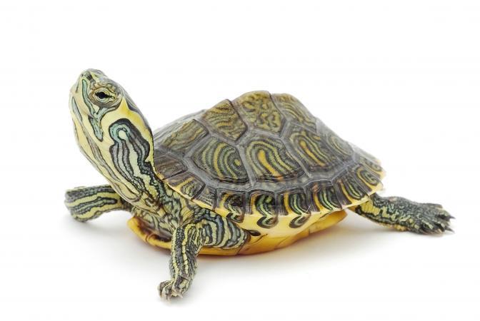 215635-672x450-Little-turtle
